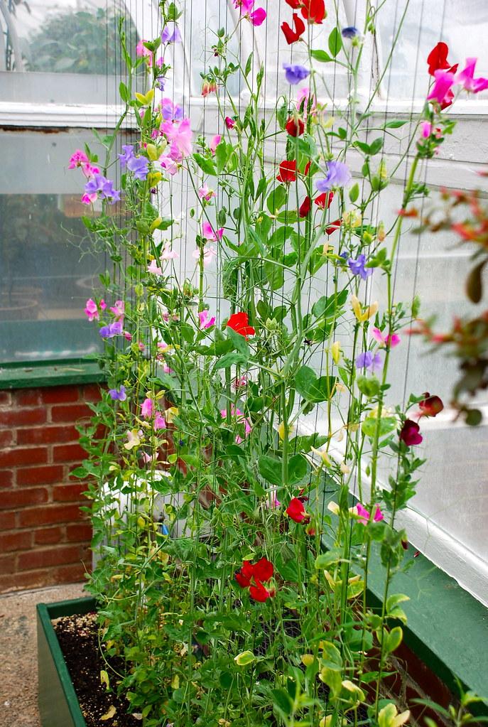 Hoa trồng ban công có mùi thơm dịu nhẹ, đẹp mà dễ trồng 1