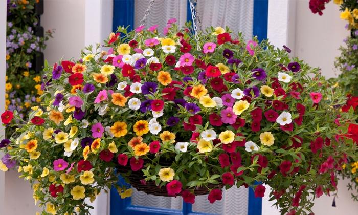 Một số loại hoa trồng ban công chịu nắng dễ trồng 7