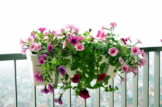Một số loại hoa trồng ban công chịu nắng dễ trồng 6