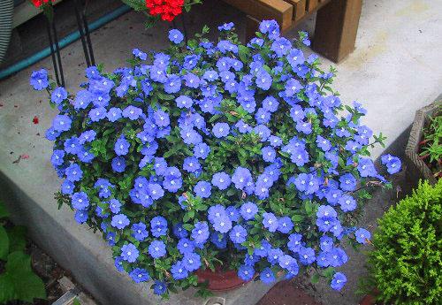 Một số loại hoa trồng ban công chịu nắng dễ trồng 2