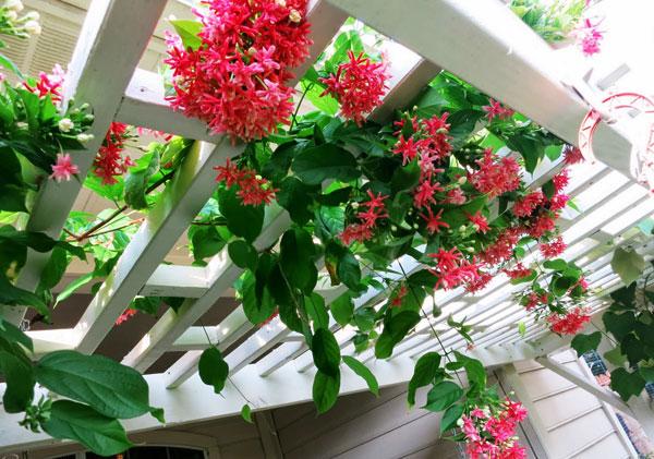Một số loại hoa trồng ban công chịu nắng dễ trồng 5