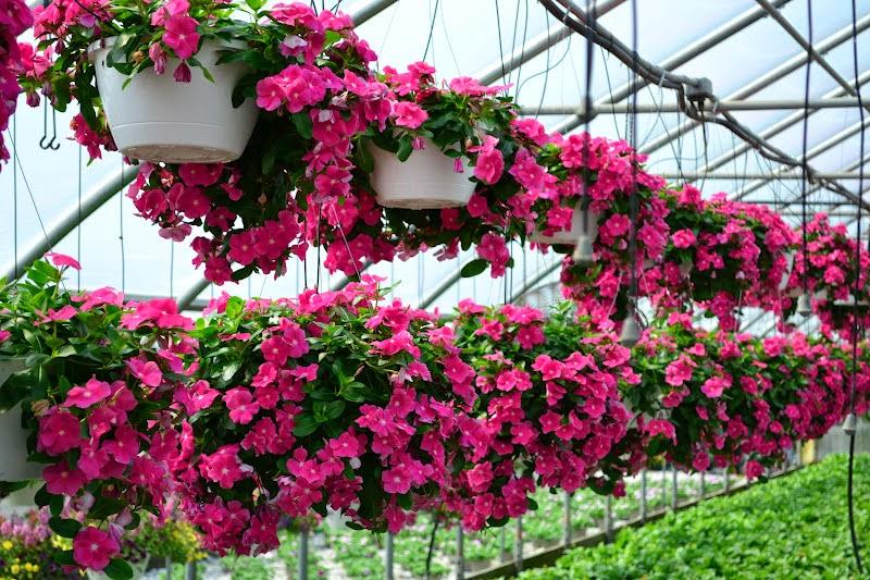 Một số loại hoa trồng ban công chịu nắng dễ trồng 3